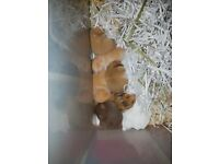 Baby hand tame hamsters