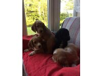 Cocker Spaniel puppies for sale.