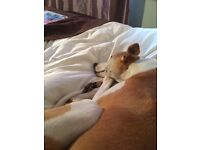 Reward for whippet £100. Tan and white. Lost nr gulval.