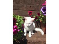 Lovely white kitten for sale
