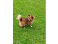 Chihuahua x Pom pup