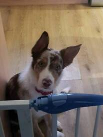 Male red-merle collie,6months old