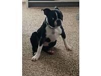 Pedigree boston terrier