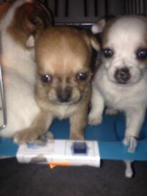BLACKPOOL Super tiny chihuahua puppies