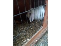 2x rabbits for sale with double hutches