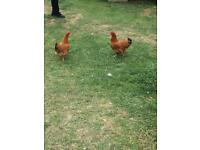 Two female chickens