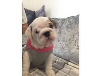 100% pure English bulldog puppies