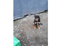 Rottweiler colly cross dog puppy