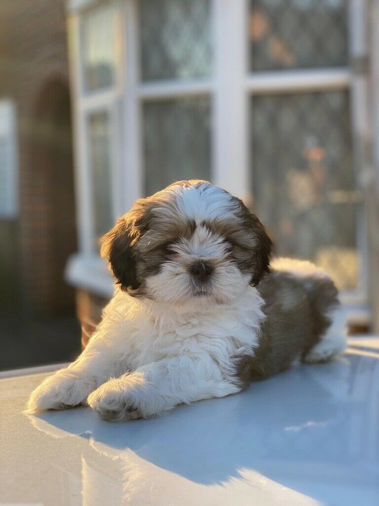 Male Shih Tzu Puppy In Leicester Leicestershire Gumtree