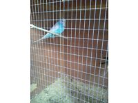 Blue and White Large Budgies