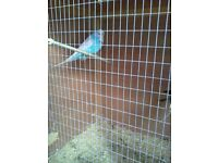 Pairs of Blue and White Large Budgies