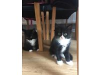 Male and female black and white fluffy kittens