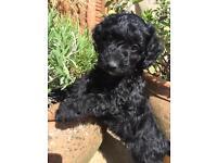 F1b Black Cockapoo female puppy