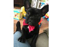 FRENCH BULLDOG 7month old