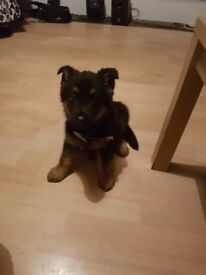 German Shepherd puppies for sale reddy to go 9 weeks old micro chiped flead and wormed