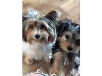 Yorkshire Terrier Pup Ready Now