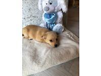 Cute Jackaranian/Jackapom Puppy, cross breed Pomeranian Jack Russell