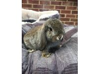 Female Mini lop.
