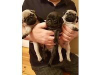 Stunning pug puppies looking for forever homes