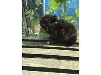 Beautiful Kitten for Sale -Female