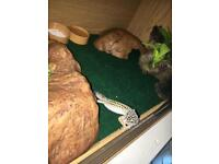 Leopard gecko (pick up only)