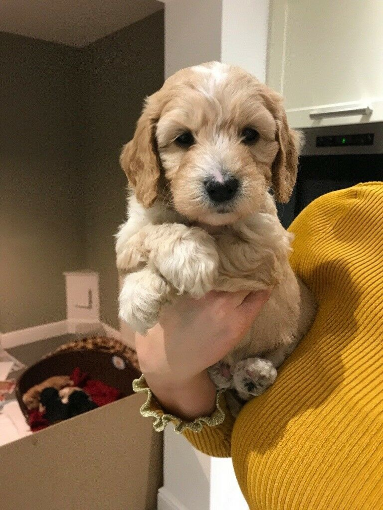 Cockapoo Puppies For Sale  In Stourport-On-Severn -4209