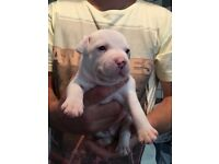 White staffy puppy