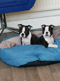 Boston terrier puppies for sale