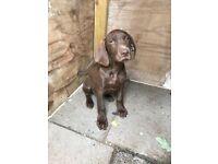 Weimaraner x German short haired pointer puppy. Boy