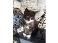 Loving black and white fluffy kitten
