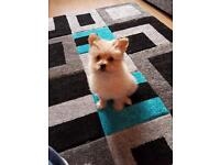 4 month old male Pomeranian