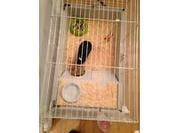 Young guinea pig with cage and food