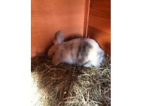Beautiful rabbit for rehoming, cage and accessories included