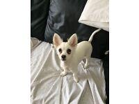 Beautiful half Chihuahua half Pomeranian