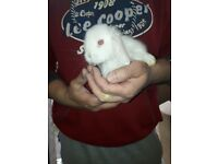 Mini Lops white pair 10wks old