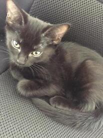 8 weeks long haired kitten