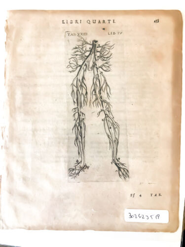 COA RARE 400 Year Old original Illustration of Anatomy Johann Theo. de Bry 1602