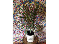 Glorious Big Dragon Tree Plant in Big Cream White Pot