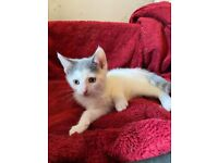 5 Beautiful Two-Tone Kittens for Sale - Lovely Natured - Good with other cats, dogs and children.