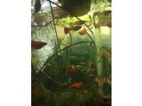 Guppy fish for aquarium