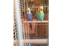 2 beautiful birds (budgies)