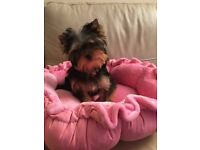 Yorkshire Terrier cute small girl.