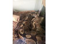 Pair of lovely royal pythons and 2 variorums