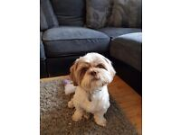 Shih tzu male 18 months old lovly colour with liver noes