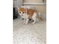 1 beautiful ginger and white kitten. Ready to go. 9wks old.
