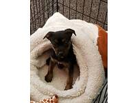 Female Patterjack puppy for sale