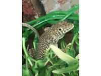 Egyptian leopard lizard group 7!!