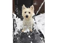 Westie girl for sale 1 year old