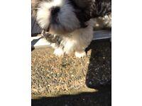 3 Shih Tzu puppy's