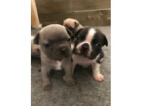 Sired by Pablo Beautiful french bulldog puppies
